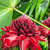 Closeup of Plant from jungle Torch Ginger, Phaeomeria Magnifica. stock photo © xura