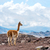 vicuna vicugna vicugna or vicugna is wild south american camel stock photo © xura