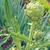 mondo · perenne · commestibile · verde · cuoco · vegetali - foto d'archivio © xura