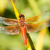 flame skimmer dragonfly stock photo © yhelfman
