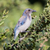 western scrub jay   aphelocoma californica stock photo © yhelfman