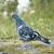 鳩 · 1 · グレー · 孤立した · 白 · 羽毛 - ストックフォト © yhelfman