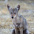 young coyote canis latrans stock photo © yhelfman