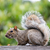 eastern gray squirrel   sciurus carolinensis stock photo © yhelfman
