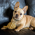 playful french bulldog puppy stock photo © yhelfman