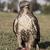 havik · jeugdig · eten · eekhoorn · vogel · buit - stockfoto © yhelfman