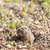 bottas pocket gopher   thomomys bottae peeking out from its burrow stock photo © yhelfman