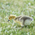 カナダ · ガチョウ · 公共 · 公園 · 鳥 · パス - ストックフォト © yhelfman