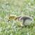 Canadá · ganso · público · parque · pássaro · caminho - foto stock © yhelfman