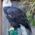 american bald eagle   haliaeetus leucocephalus adult female stock photo © yhelfman