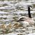 canada goose with goslings branta canadensis wading in formation stock photo © yhelfman