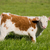 brown and white calf grazing in the meadow stock photo © yhelfman