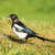 european magpie stock photo © yhelfman