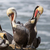 a pod of brown pelicans pelecanus occidentalis stock photo © yhelfman