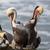 a pod of brown pelicans pelecanus occidentalis stock photo © yhelfman
