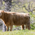 grazing cow in halls valley trail stock photo © yhelfman