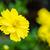 yellow cosmos flower cosmos sulphureus stock photo © yongkiet