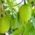 zöld · gyümölcs · tavasz · keserű · uborka · fa - stock fotó © Yongkiet