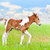 horse foal walking in green grass stock photo © yongkiet