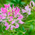 close up pink cleome flowers filled with dew drops stock photo © yongkiet