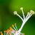 white carpel of the hibiscus flowers stock photo © yongkiet
