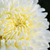 close up white chrysanthemum morifolium flower stock photo © yongkiet