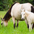 white horse mare and foal in a grass stock photo © yongkiet
