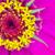 macro · amarelo · rosa · pétalas · tiro · topo - foto stock © Yongkiet