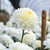 beyaz · krizantem · vazo · ahşap · çiçek · doğa - stok fotoğraf © yongkiet