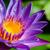 macro · Geel · paars · waterdruppels · violet - stockfoto © yongkiet