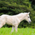 white horse foal in green grass stock photo © yongkiet