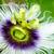 exótico · hermosa · flor · blanco · púrpura - foto stock © Yongkiet