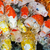 laranja · carpa · koi · azul · boca - foto stock © yongkiet