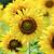napraforgó · farm · sok · sárga · virág · virágzó · természet - stock fotó © Yongkiet