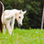 White horse foal in a green grass
