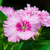 pink dianthus flowers filled with dew drops stock photo © yongkiet