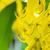 close up purging cassia or ratchaphruek flowers cassis fistula stock photo © yongkiet