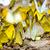 büyük · bir · grup · kelebek · zemin · çim · sarı - stok fotoğraf © yongkiet