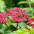 Leea Rubra flowers stock photo © Yongkiet