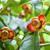 miękkie · owoców · mangostan · drzewo · sad - zdjęcia stock © Yongkiet