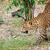 Leopard · Panther · ходьбе · землю · посмотреть - Сток-фото © Yongkiet