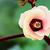 Ямайка · гибискуса · цветок · розовый · цветок · Blossom - Сток-фото © yongkiet