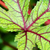 textura · folha · verde · vermelho · Jamaica - foto stock © Yongkiet