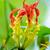 скалолазания · Лилия · цветок · захватывающий · красный · желтые · цветы - Сток-фото © yongkiet