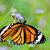 zseniális · pillangó · etetés · virágok · kert · virág - stock fotó © yongkiet
