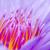 macro pollen of purple lotus nymphaea nouchali stock photo © yongkiet