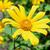 Mexicaanse · zonnebloem · onkruid · bloemen · heldere · Geel - stockfoto © Yongkiet