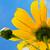 zonnebloem · witte · kant · Geel - stockfoto © yongkiet