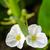 flor · blanca · hermosa · pequeño · acuático · planta · agua - foto stock © Yongkiet