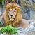 oroszlán · bámul · vad · közvetlenül · kamera · háttér - stock fotó © yongkiet
